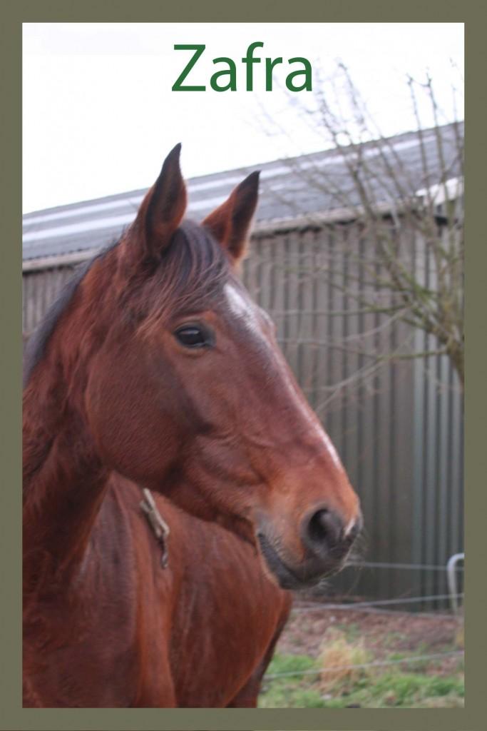 Naam: Zafra - geslacht: merrie - kleur: bruin - geboortedatum: 16-08-2004